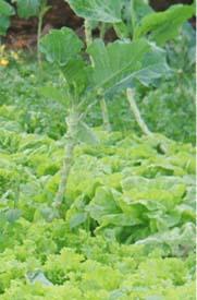 Cuidado com hortaliças e verduras
